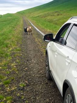adorable Icelandic sheep blocking our way