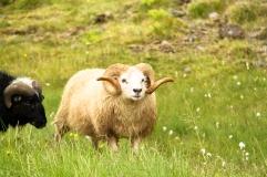 adorable Icelandic sheep