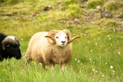 adorable Icelandic sheep