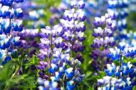 Icelandic Nootka Lupin Flower Fields