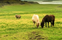 friendly Icelandic horses
