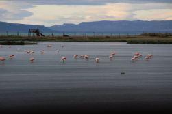 Flamingos at Laguna Nimez Nature Reserve