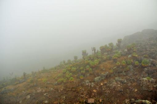Fields of `Tree Groundsel'