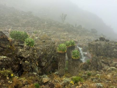 Forest of Dendrosenecio Kilimanjari